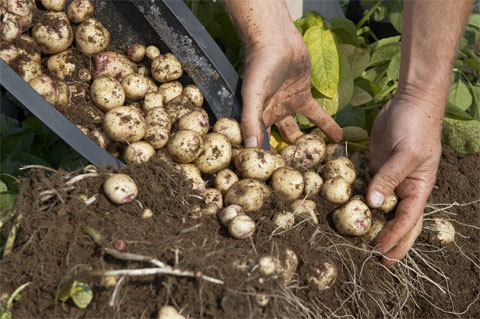 http://greenupgrader.com/11708/4-simple-steps-to-grow-a-hundred-pounds-of-potatoes-in-a-barrel/comment-page-1/#comment-122815