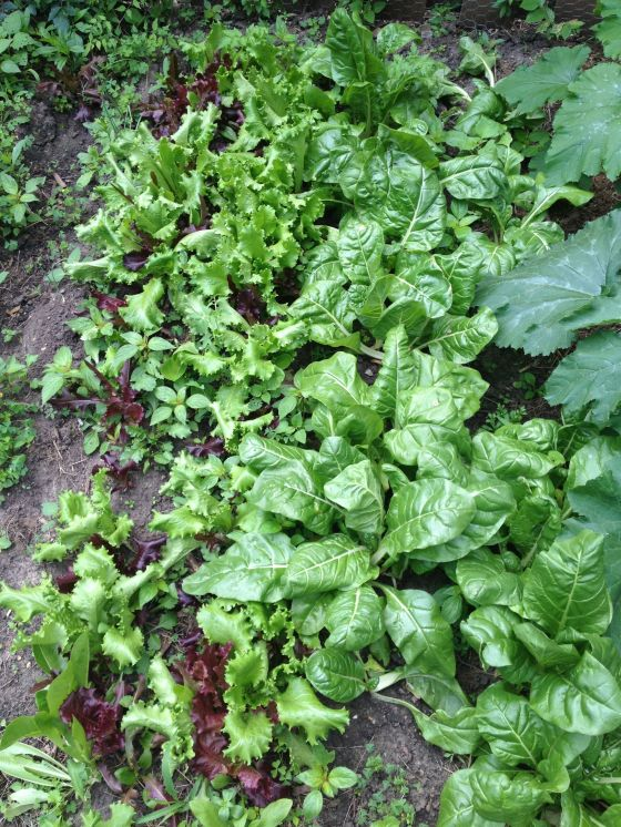 garden update-lettuce and chard