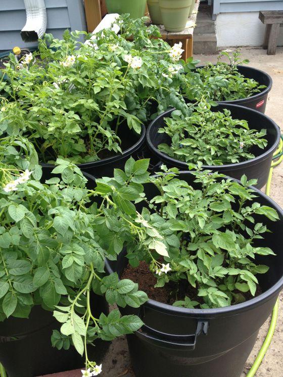 garden update-potato