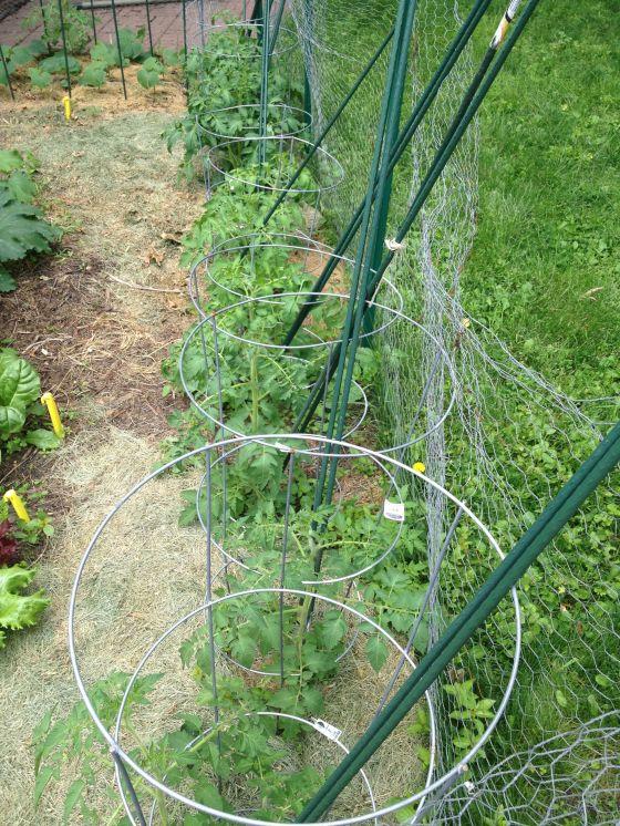 garden update-tomato